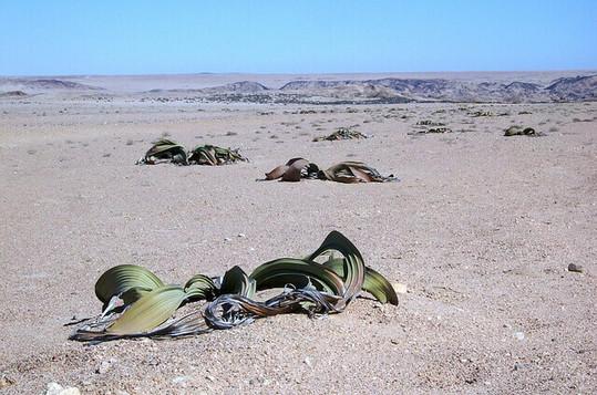 Welwitschia-Petr-Kosina.jpg