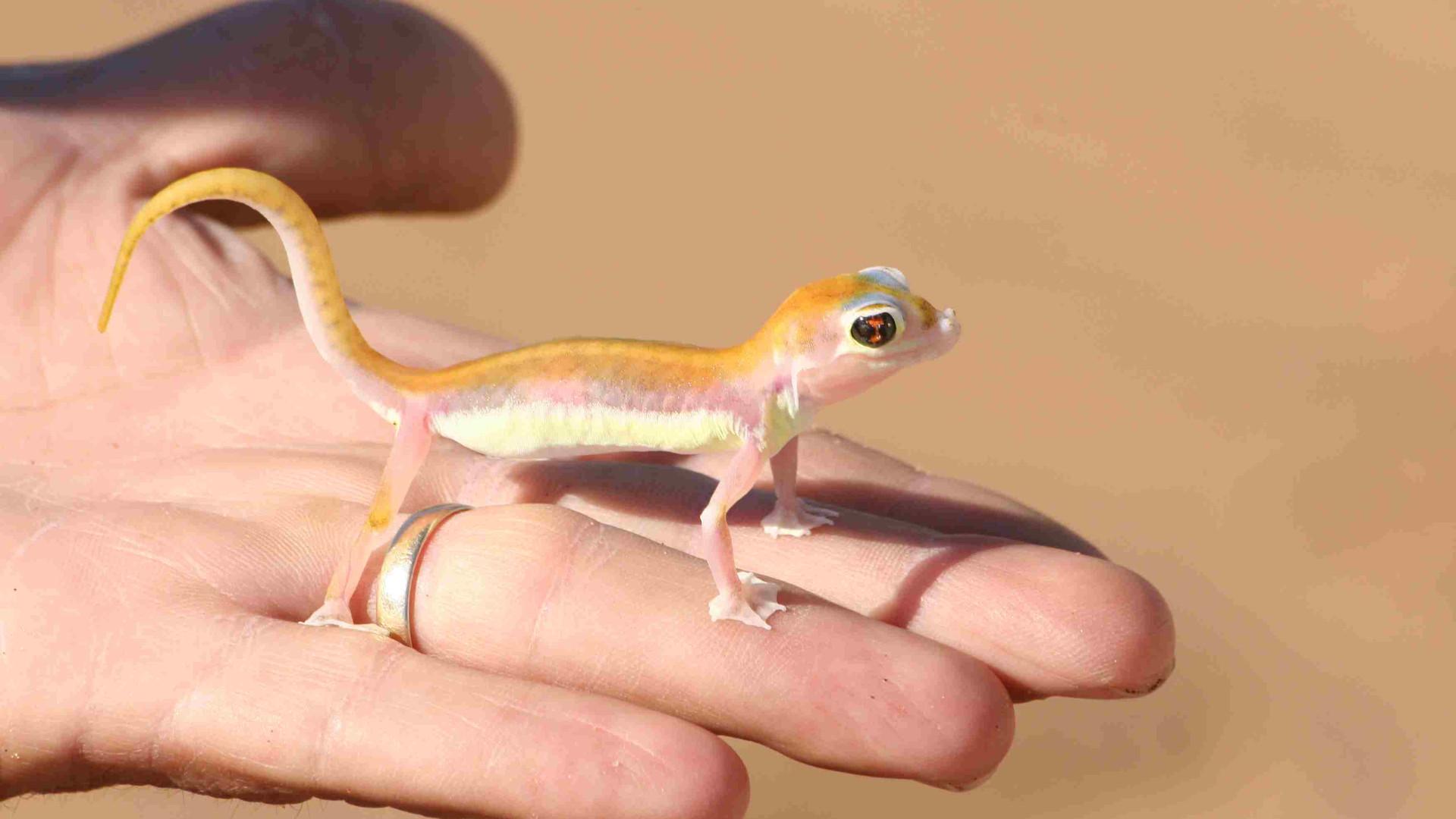 Palmato Gecko 2.jpg