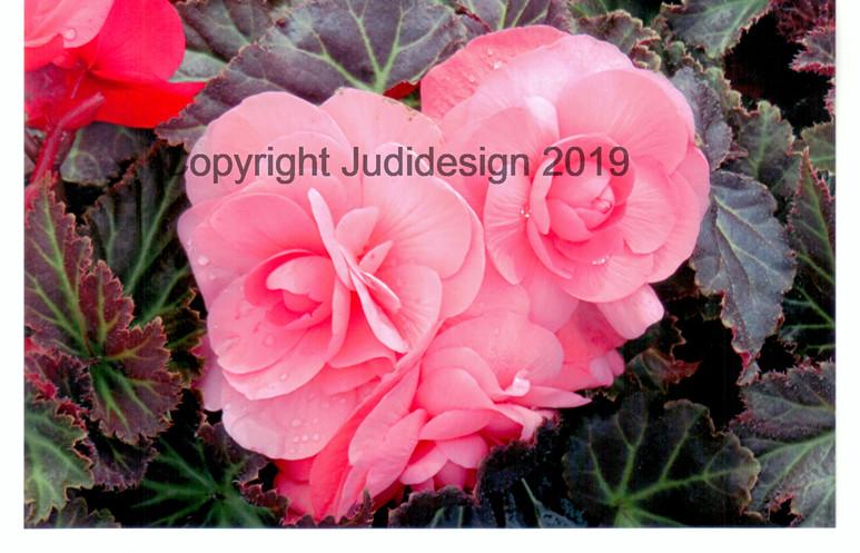 Judi's 2nd photo batch 024 Begonia.jpg