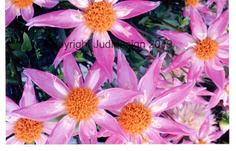 Judi's 2nd photo batch 011 Dahlia  Trely