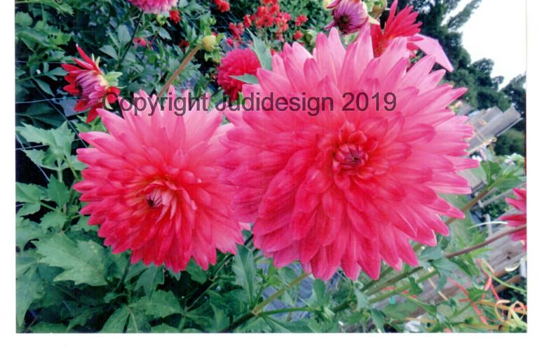 Judi's 2nd photo batch 026 Dahlia Sorbet