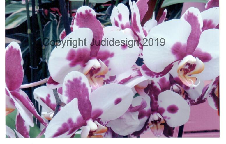 Judi's 2nd photo batch 009 Orchid Phalan