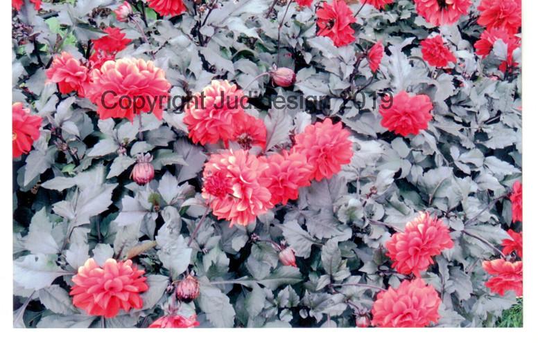 Judi's 2nd photo batch 020 Dahlia Madame