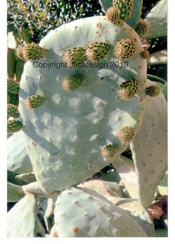 Judi's 2nd photo batch 037 Prickly Pear.