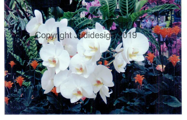 Judi's 2nd photo batch 008 Orchid Phalan