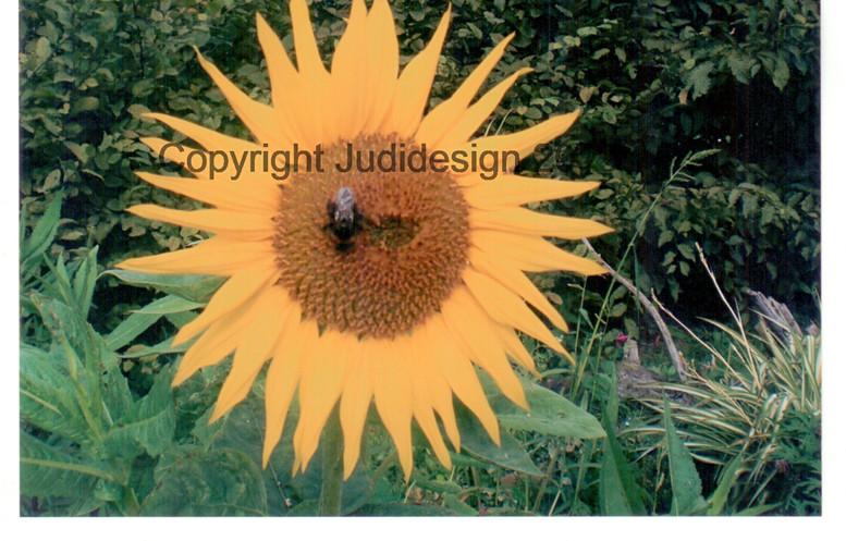 Judi's 2nd photo batch 015 Sunflower.jpg
