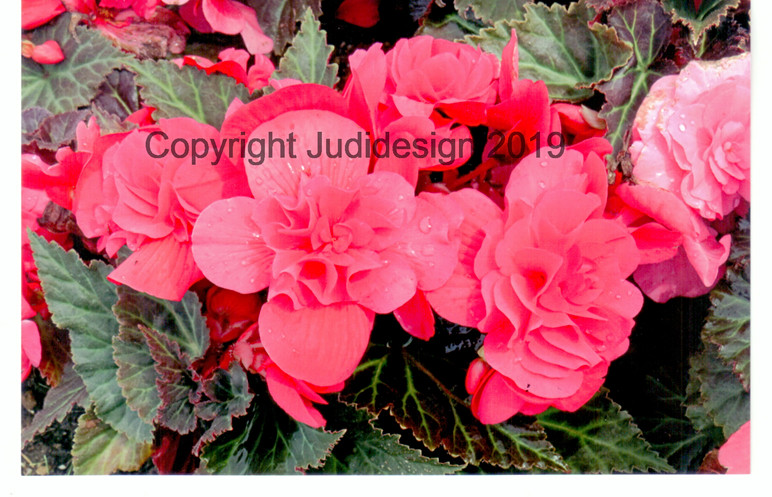 Judi's 2nd photo batch 023 Begonia.jpg