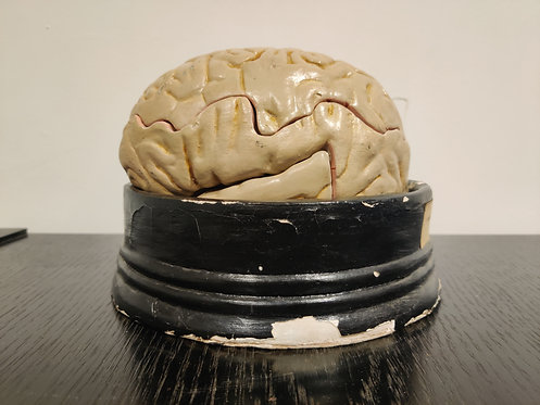 SOLD Anatomical model of the human brain, 1950s