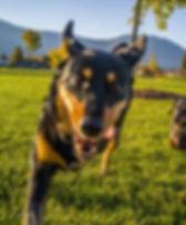 sheba running in park.jpg
