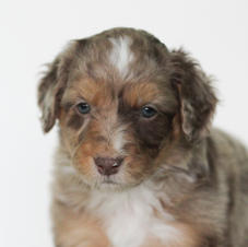 Red Tri-Colored Merle