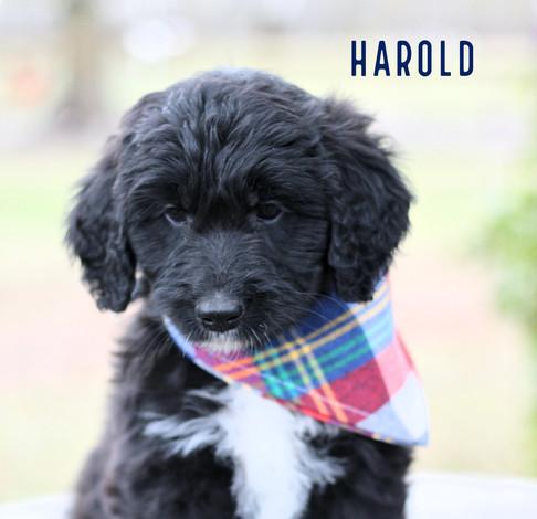 harold.jpg