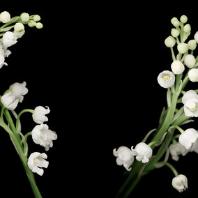 Joyce Tenneson, Lily of the Valley