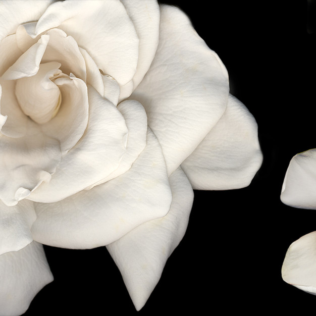 Joyce Tenneson, Gardenia