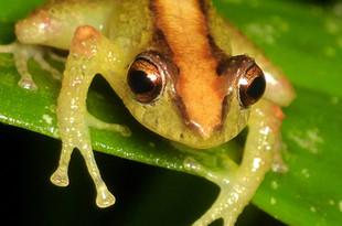 Fern-loving rainfrog (Pristimantis pteridophilus)
