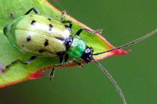 Leaf beetle (Diabrotica sp.)