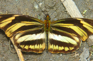 Heliconia butterfly (Podotricia judith)