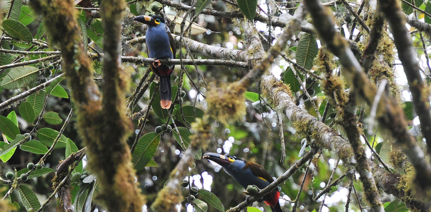Plate billed Mountain Toucans (Andigena laminirostris)
