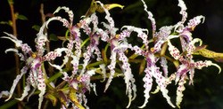 SV_orchid
