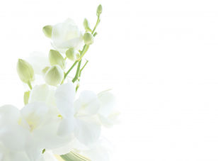 white-orchid-white-healing