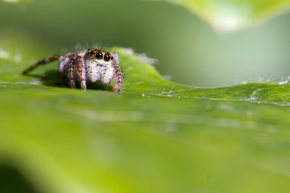 Ragno  (Famiglia Salticidae)