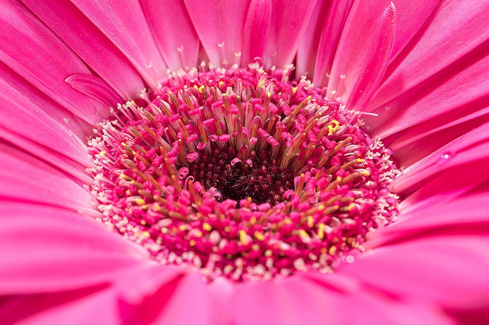 Margherita rosa