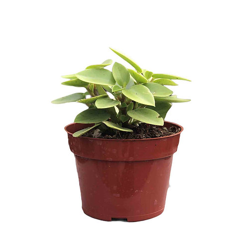 Peperomia Pixie Lime 4in