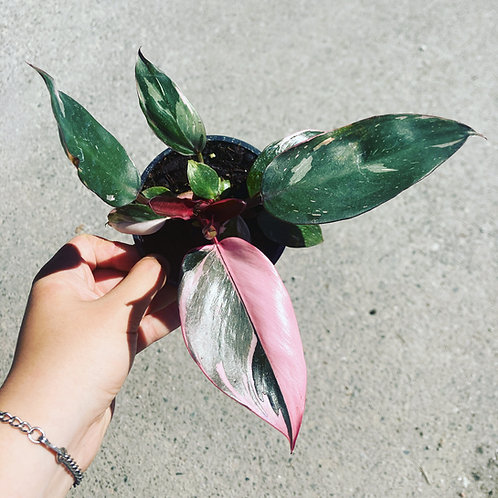 Philodendron Pink Princess 4in