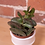 """Thumbnail: Andromischus trigynus """"Calico Hearts"""""""