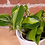 Thumbnail: Philodendron hederaceum 'Brasil'