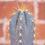 Thumbnail: Pilosocereus pachycladus