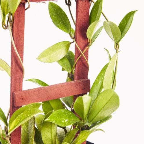 Hoya pubicalyx 4in