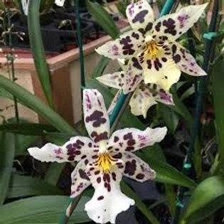 Bllra. Tropic Lily 'Hilo Spaceship'