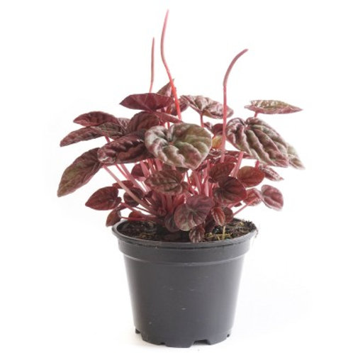 Peperomia Schumi Red 4in