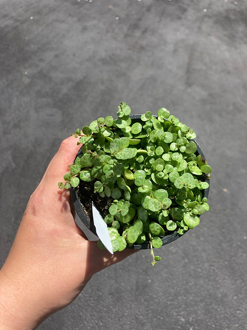 String of Turtles (Peperomia Prostrata) 4in