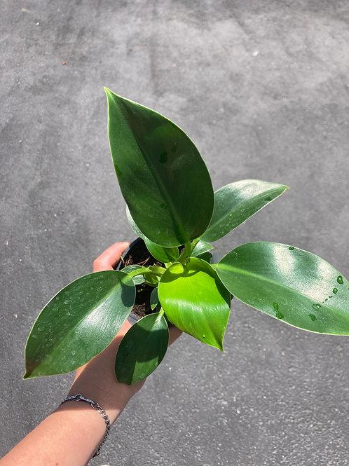 Philodendron 'Mia' (Green Princess) 4in