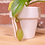 Thumbnail: Nepenthes ventrata