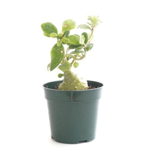 Myrmecodia beccori (Ant plant) 4in
