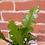 Thumbnail: Epiphyllum anguliger