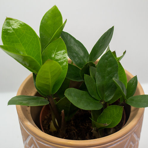 ZZ Plant 5in