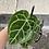 Thumbnail: Anthurium crystallinum 6in