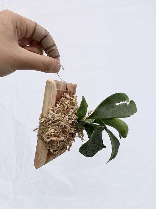 Mini mounted Staghorn fern
