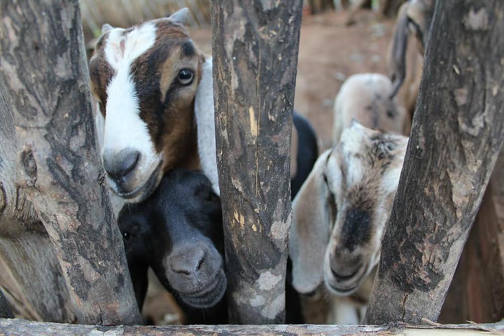 goats in Morada Nova