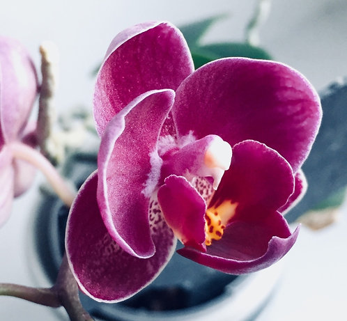Pink Orchid + Amber