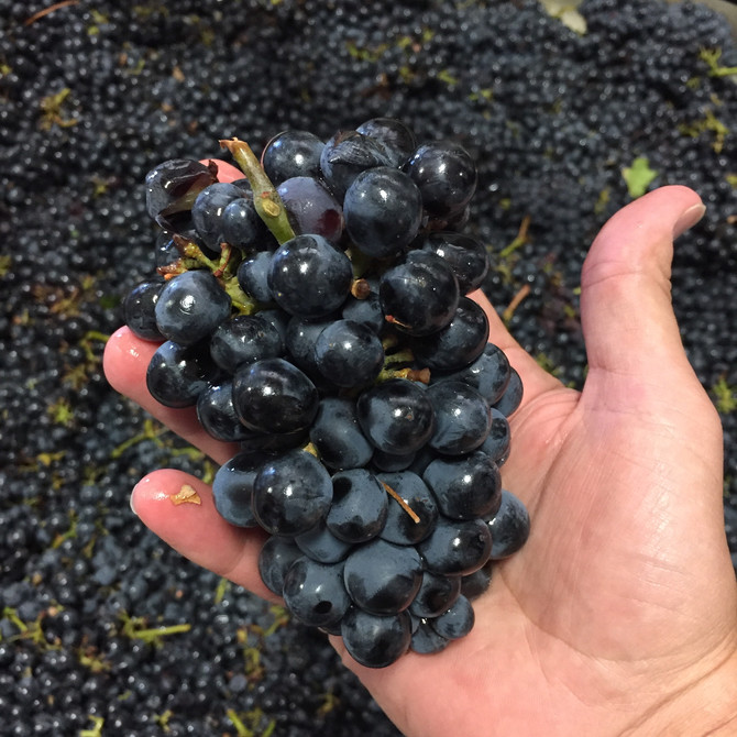 2018 Harvest Recap: Rosy Rosé, Perfect Pinot and Zippy Zin
