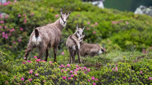 Tierfotografie auf dem Niederhorn