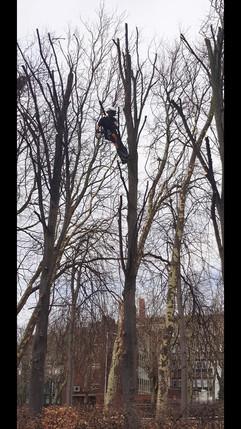climbing lime trees.jpg
