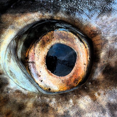 Torsk öga