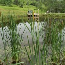 RFR Pond Cattails.jpg
