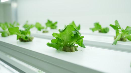 Lettuce 6.JPG