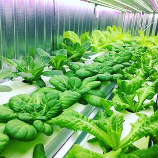 Lettuce Overload.JPG